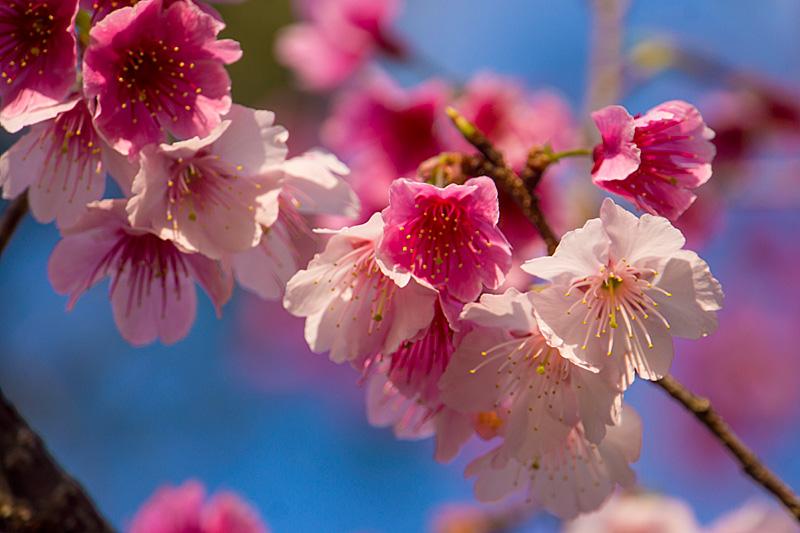 fl_cherry11_yaedake130129
